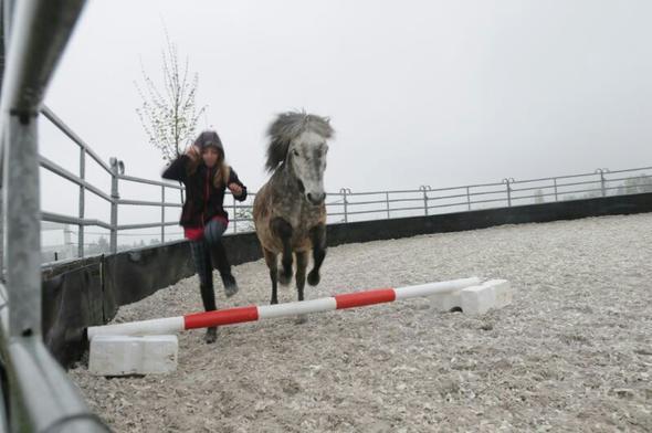 er bleibt liegen und genießt es :) - (reiten, Pony, Isländer)
