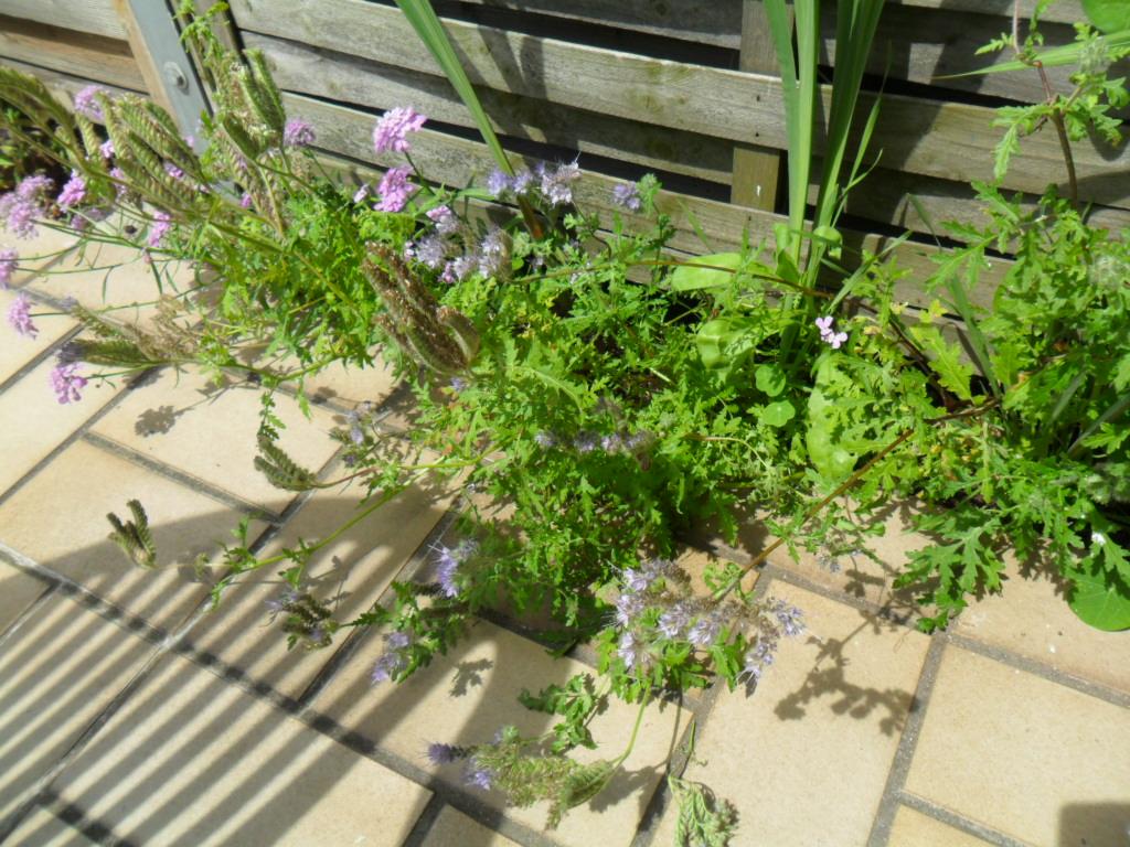 ist das auf dem foto eine ambrosia pflanze garten pflanzen allergie