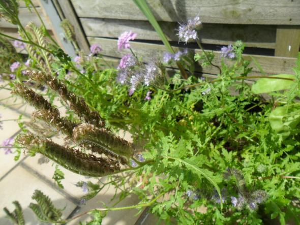 ist das auf dem foto eine ambrosia pflanze garten pflanzen allergie. Black Bedroom Furniture Sets. Home Design Ideas
