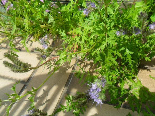 ist das auf dem foto eine ambrosia pflanze garten. Black Bedroom Furniture Sets. Home Design Ideas