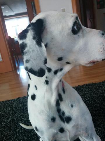 Ohr - (Hund, Rasse, Dalmatiner)