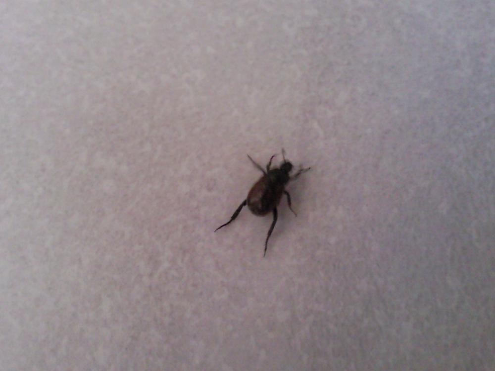 Zeckenähnliches Insekt