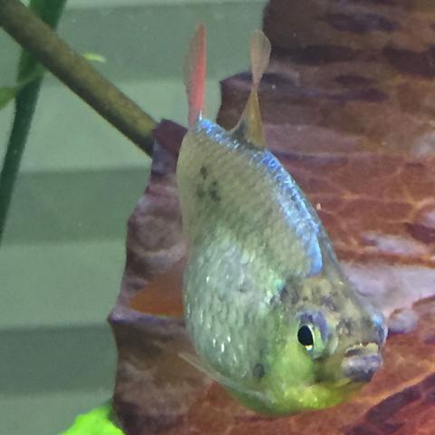 Rotblauer Kolumbianer  - (Fische, Aquarium, Schwarzfleckenkrankheit)