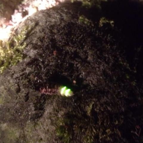 Es leuchtet *o* - (Insekten, raupe, Larven)
