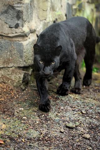 Ist das ein Jaguar?
