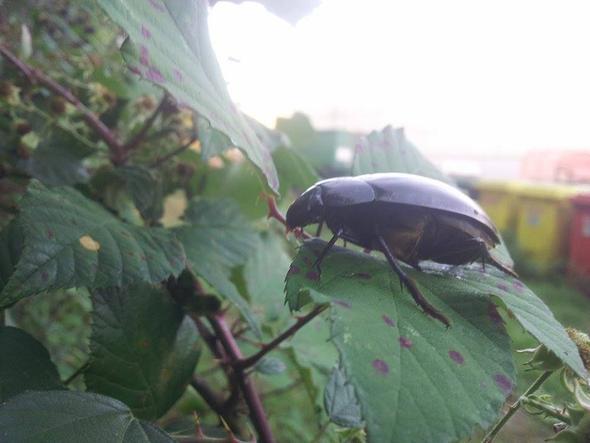 Auf Bromberblatt - (Kaefer, riesig, Entomologie)