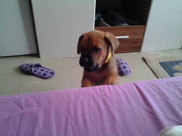 welpe - (Hund, Boxer, Listenhunde)