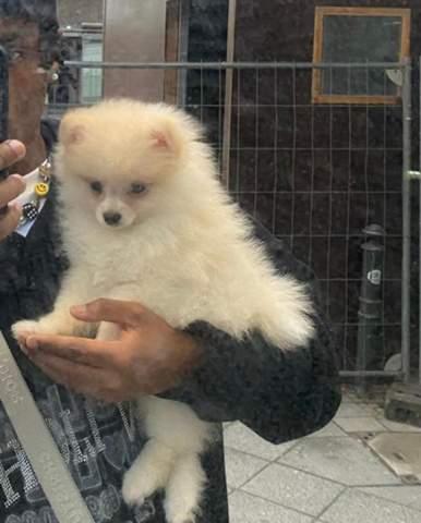 Ist das ein Pomeranian Zwerg spitz?