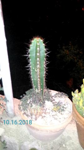 - (kaktus, Kaktusart)