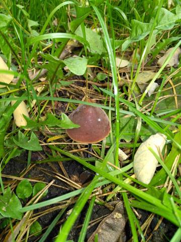 im Gras - (Gesundheit und Medizin, Pilze, pilzarten)