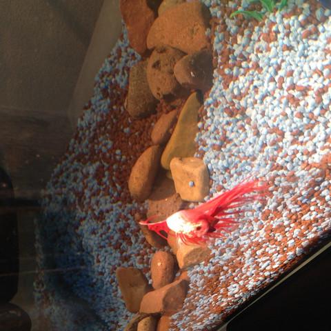 2. - (Fische, Kampffisch)