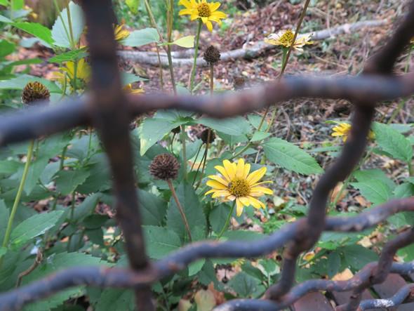 gelbe blume - (Biologie, Pflanzen, Botanik)