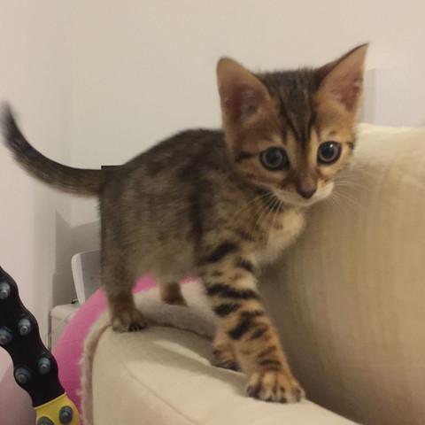 Von vorne 3 - (Katze, Bengal, Bengal Katze)