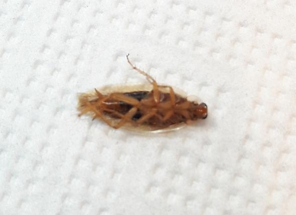 Ist Das Eine Bernstein Kuchenschabe Oder Ein Anderes Insekt Insekten