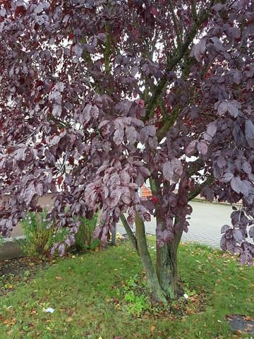 buche2 - (Baum, Wald, Buche)