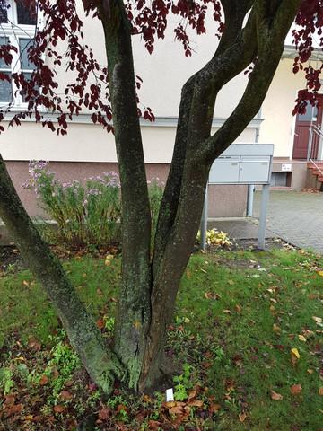 buche3 - (Baum, Wald, Buche)