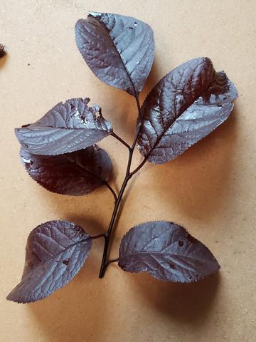 buche4 - (Baum, Wald, Buche)