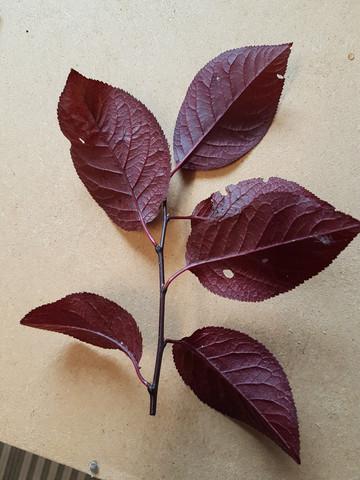 buche5 - (Baum, Wald, Buche)