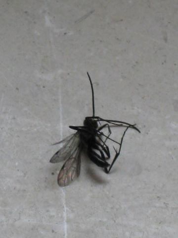 ist das eine fliegende ameise insekten ameisen insektenspray. Black Bedroom Furniture Sets. Home Design Ideas
