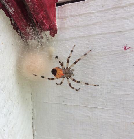 Hoppla, was bist du denn für eine Spinne? - (Freizeit, Insekten, Giftspinne oder nicht)