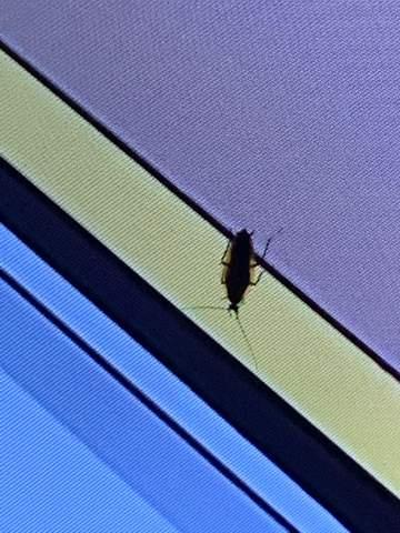 Ist das eine Kackerlake oder Küchenschabe?