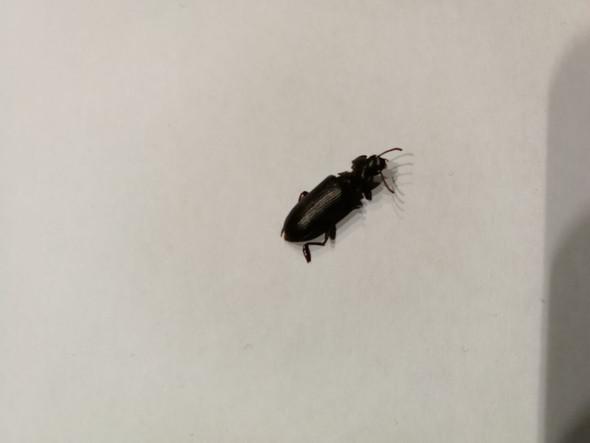 Ist das eine Kakerlake? - (Insekten, Schädlinge, Kakerlaken)
