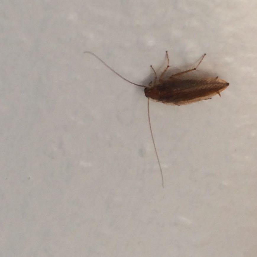 ist das eine kakerlake oder was ist das insekten kakerlaken schabe. Black Bedroom Furniture Sets. Home Design Ideas