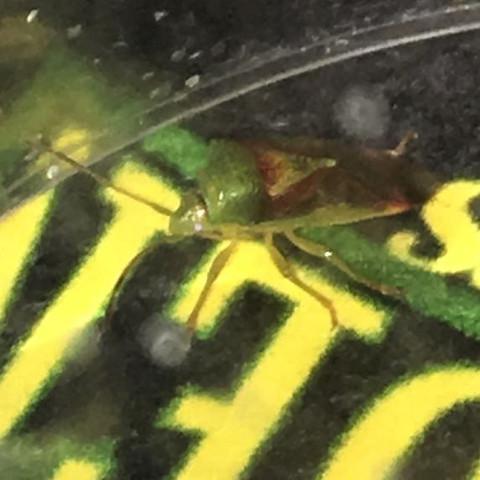Gefangen und näher abgelichtet  - (Tiere, Insekten, Kakerlaken)
