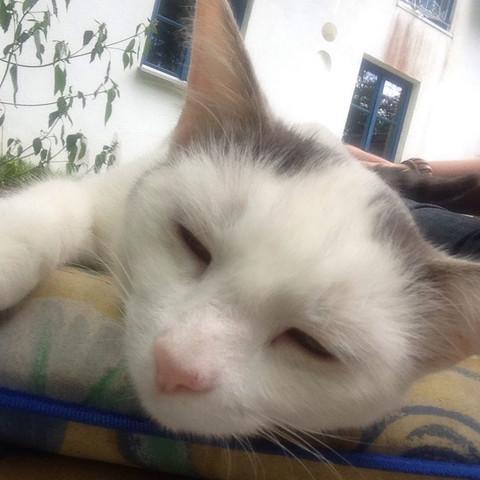 Bild 1 - (Katze, Kartäuser)