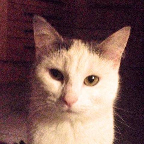 Bild 4  - (Katze, Kartäuser)