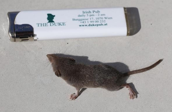 Maus? - (Tiere, Biologie, Maus)