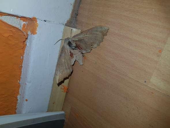Ist das eine Motte oder eine Fledermaus?