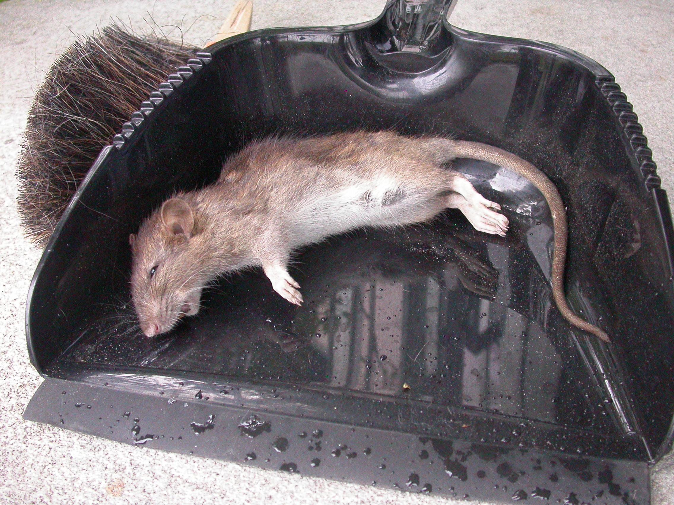 ist das eine ratte sorte tiere maus ratten. Black Bedroom Furniture Sets. Home Design Ideas