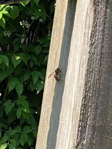 Ist das eine Wespe oder Hornisse?