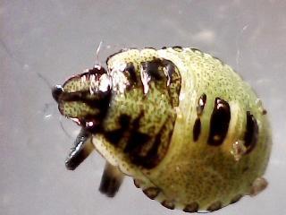 Käfer oder Blattwanze? - (Biologie, Garten)