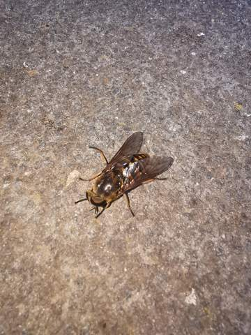 Ist das hier eine Hornissenschwebfliege  oder was anderes?