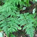 5pflanze