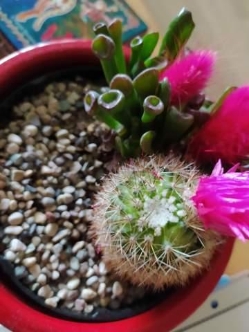 Ist das Schimmel auf dem Kaktus?