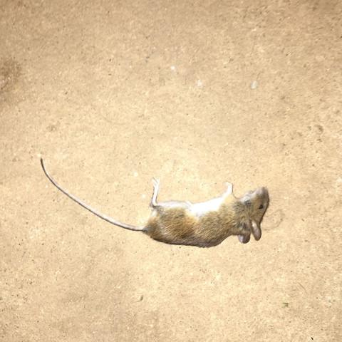 Ratte oder Maus  - (Tiere, Katze, Maus)