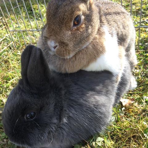 Rammelt kaninchen Weiblich Kaninchen