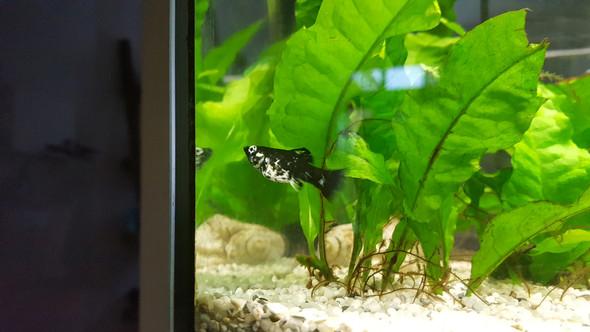 das normale Weibchen - (Wasser, Fische, Aquarium)