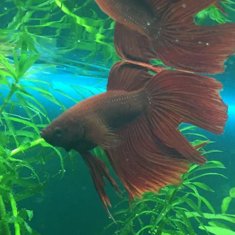 Mein Männchen mit Loch im Schwanz - (Fische, Aquarium, Geschlecht)