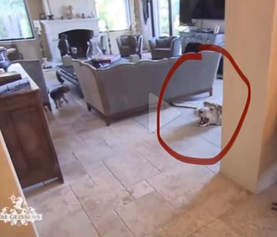 Ist der Teppich mit dem Löwenkopf echt bei den Geissens?