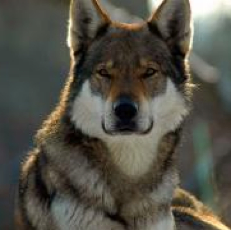 ist der tschechoslowakische wolfshund in deutschland erlaubt hund legal rasse. Black Bedroom Furniture Sets. Home Design Ideas