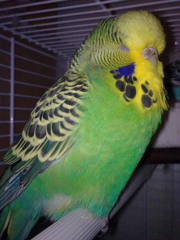 chicky  - (Vögel, Wellensittich)