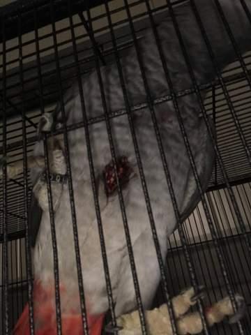 Ist die Wunde tödlich für denn Papageien?