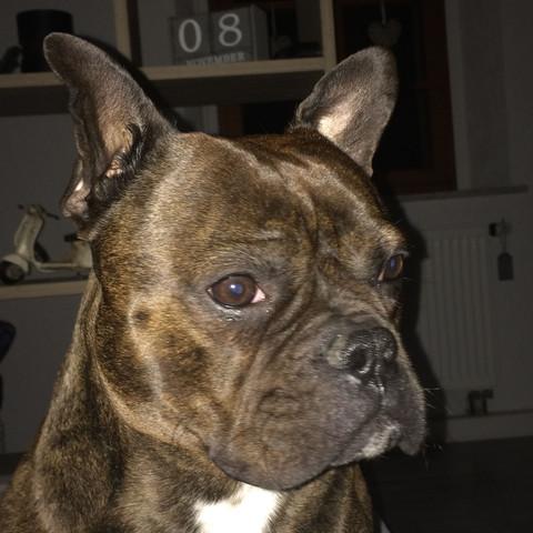 Das ist der Hund  - (Hund, bulldogge, Dogge)