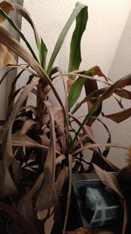 ist diese palme noch zu retten pflanzen zimmerpflanzen. Black Bedroom Furniture Sets. Home Design Ideas