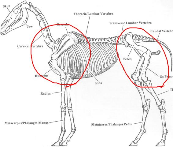 Ist dieser Knochen beweglich? (Tiere, Pferde, Anatomie)