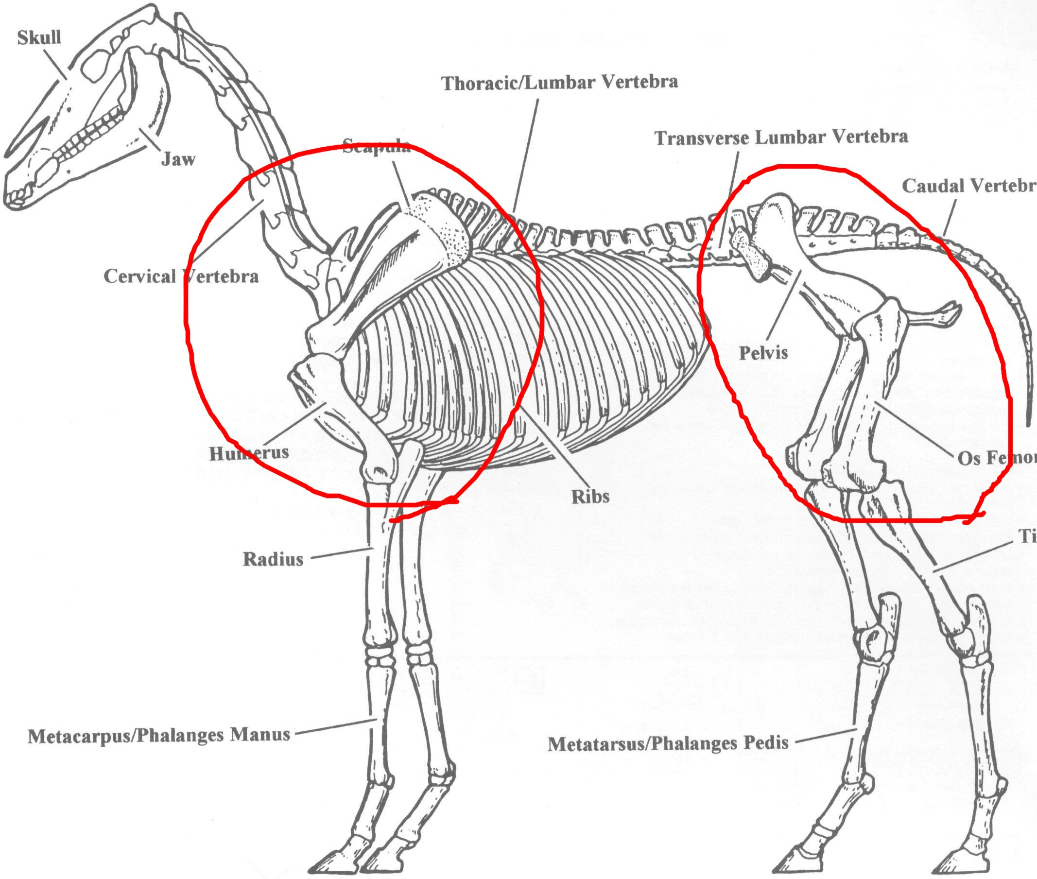 Großzügig Pferd Hinteres Bein Anatomie Ideen - Anatomie Ideen ...